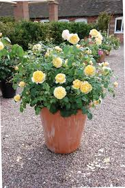 potted roses gallery