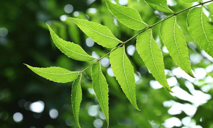 """Image result for neem leaves"""",nari"""