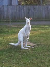 White kangaroo at hunter valley zoo ...