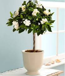 growing gardenias in pots gardenia