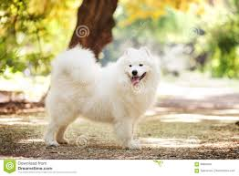 Big white samoyed dog stock photo ...