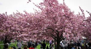 buffalo cherry blossom festival new