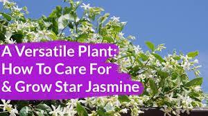 A Very Versatile Plant Star Jasmine Care Growing Tips Joy Us Garden Youtube