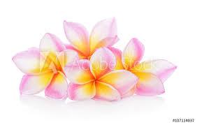 Window Stickers Frangipani Flowers On White Background Nikkel Art