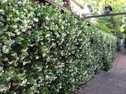 Star Jasmine On Fence Google Search Privacy Plants Evergreen Plants Garden Vines