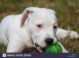 Adorable American Bulldog lying on the ...