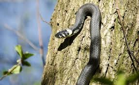 How To Get Rid Of Snakes How To Get Rid Of Copperhead And Garden Snakes