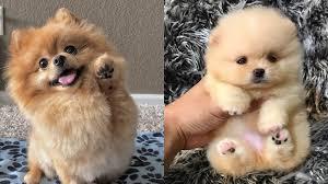 top 12 cutest pomeranian mix dog breeds
