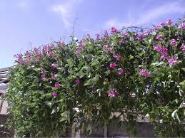 19 Best Pergola Plants Climbing Plants For Pergolas Arbors Balcony Garden Web