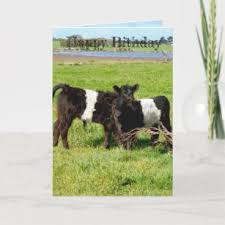 belted galloway gifts on zazzle