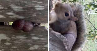 Squirrel Gets Stuck On Fence By Its Nuts Metro News