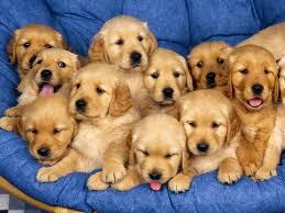 golden retriever puppies wallpaper free
