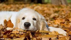 golden retriever puppy wallpapers top