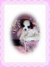 melmack s prancing toy poodles home