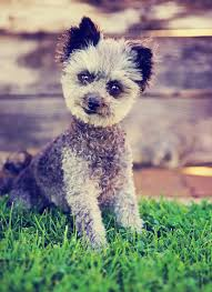 chihuahua poodle mix meet the