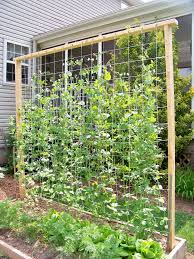 Sweet Pea Planting Time Is Now Go To Hidden Nursery In Aptos In 2020 Diy Garden Trellis Diy Trellis Vegetable Garden Design
