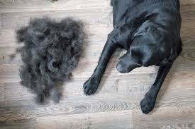 bald spots on dogs how vets say to