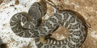 How To Stay Safe From Rattlesnakes In Ventura County