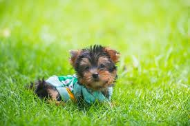 the plete teacup yorkie care guide