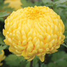 Chrysanthemum Ada Evans (Early) £6.95 (With images) | Chrysanthemum plant,  Chrysanthemum flower, Chrysanthemum