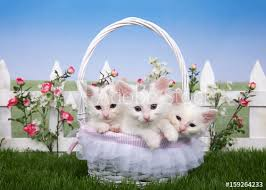 Three Fluffy White Kittens Sitting In A White Wicker Basket Looking Directly At Viewer Basket On Green Grass White Picket Fence With Pink Roses And White Flowers Behind Blue Sky Background