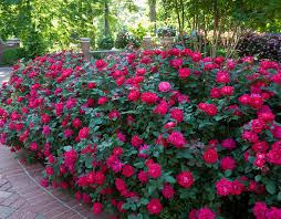 Some Of Our Favorite Hedges The Knock Out Family Of Roses
