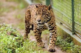 mission to save jaguar exposes big cats