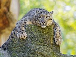 hd wallpaper snow leopard big cat