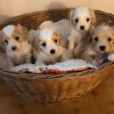 Picket Fence Puppies Home Facebook