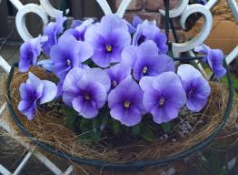 Free Images Light Fence White Rain Leaf Purple Petal Cute Hanger Green Door Flora Flowers Eye After Drop Of Water Viola Pansy Flowering Plant Flower Pots Restless Sumire Antomasako Land Plant