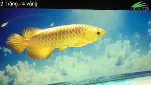 Hồ Cá Rồng ( Test Mẫu Đèn Led ) - YouTube
