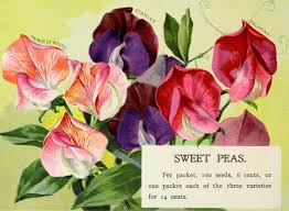 10 Best Tips for Growing Sweet Peas | Empress of Dirt