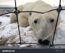 Close Polar Bear Lying Down Front Stock Photo Edit Now 1407186656