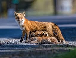 wildlife photo of the week fox family