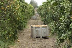 texas red gfruit season commences