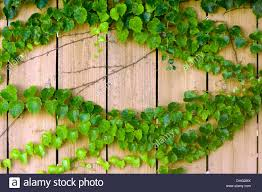 Ivy Growing On A Wooden Fence Stock Photo Alamy