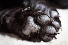torn toenail in dogs symptoms causes