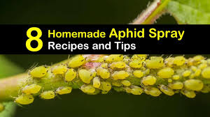 controlling aphids 8 homemade aphid