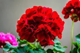 bold red annual flowers for your summer