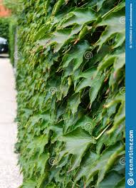 Hedge Boston Ivy Wild Grapes On A Concrete Fence Stock Photo Image Of Grass House 127595340