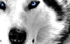 hd husky wallpapers for ios and android