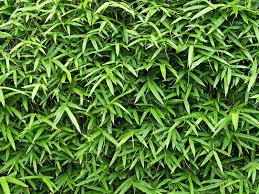 I Need A Fast Growing Hedge For Privacy Lovethegarden