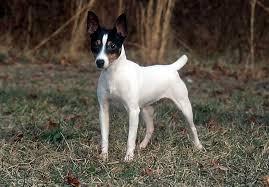 toy fox terrier info rament life