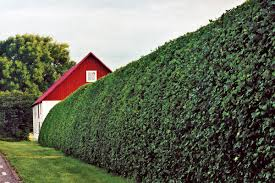 How To Trim Hedges 5 Important Tips This Old House