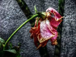 تحميل صور ورد صور ورود جميله ورائعه قصة شوق