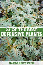 23 Of The Best Defensive Plants For Home Security Gardener S Path