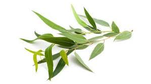 What Are the Benefits and Uses of Eucalyptus?