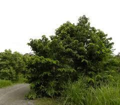 Mimpi Melihat Pohon Srikaya tebang Angka Jitu Pool303
