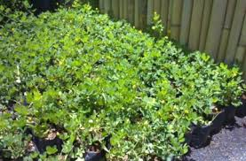 Earth Garden Landscaping Philippines Plants Philippines Plants Metro Manila Plants Supplier Bougainvillea Philippines Palms Philippines Garden Shop Plants Trees Palms A To E