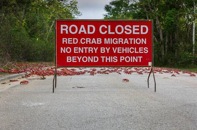 क्रिसमस आईलैंड से अचानक निकल पड़े 4 करोड़ लाल केकड़े, यातायात हुआ ठप